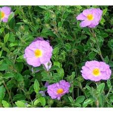 粉紅岩玫瑰純露