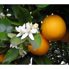 甜橙精油 10ml